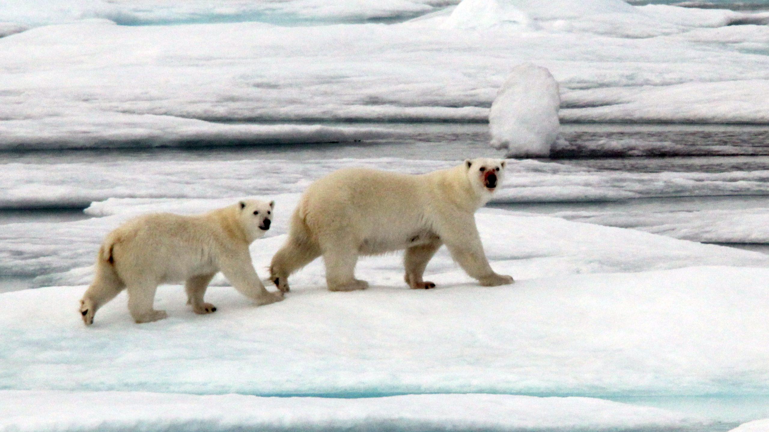 Closeup of the polar bear pair after feeding. (Photo: Marty Davelaar)