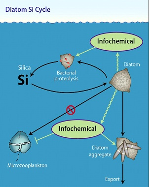 Diatom Si cycle