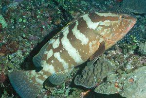 A Nassau grouper