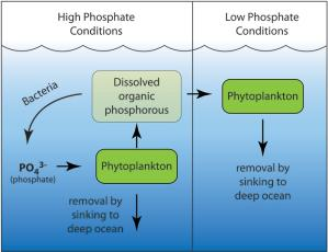 Conceptual model of dissolved organic phosphorous (DOP) cycling in the ocean.