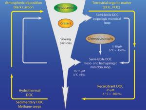 outlines of a new deep sea carbon cycle