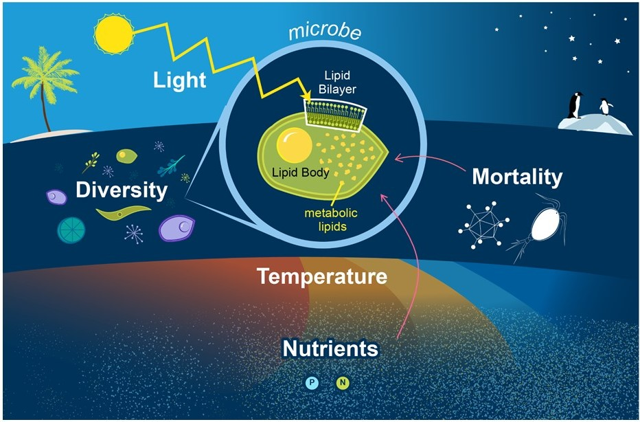 Lipids are fundamental components of all cells. Cellular lipids compose membrane bilayers and lipid bodies used for storing energy.  Lipids also play roles in myriad other metabolic processes. We are examining how external physical, biological, and chemical factors affect the distribution of lipids in microbes in the ocean.